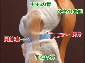 ひざ関節・軟骨02_02