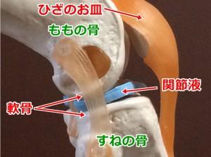 ひざ関節・軟骨03_01